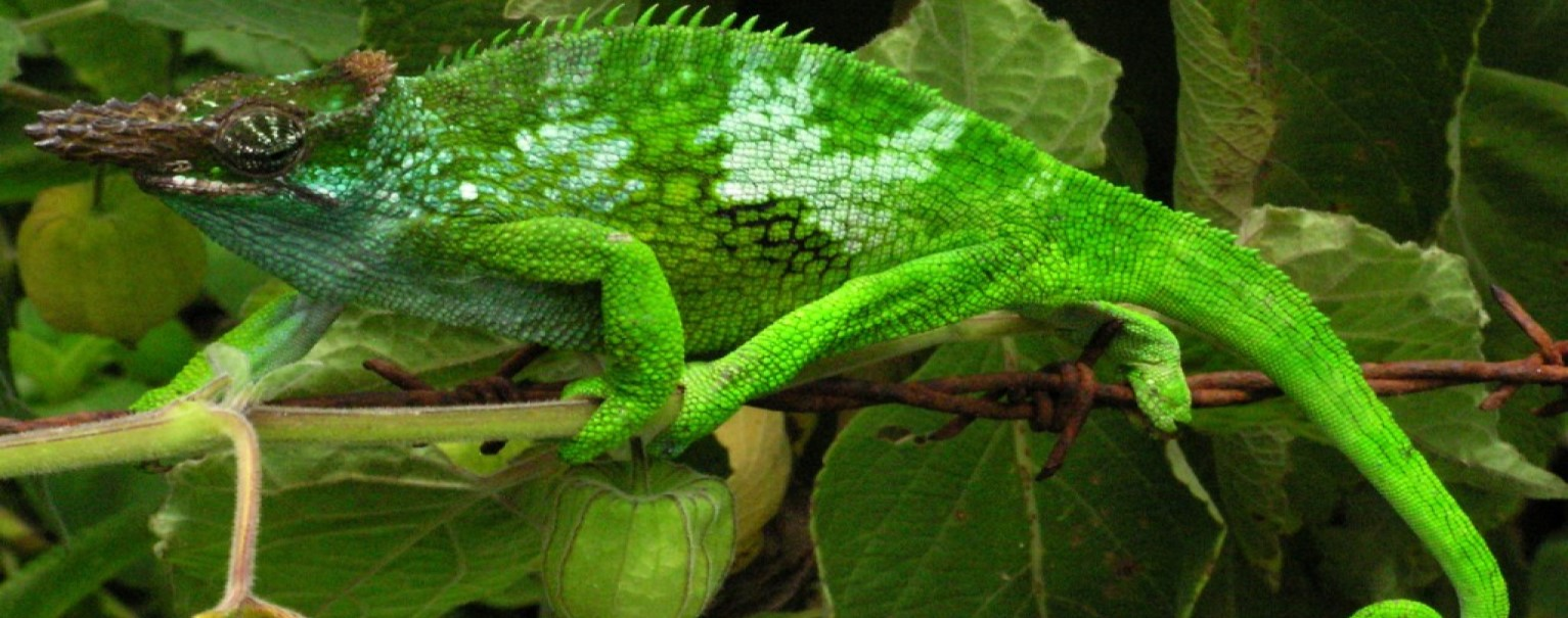 A West Usambara Two-horned Chameleon (two horns), in the Usambara Mountains, Tanzania. Photo credit: Ales kocourek